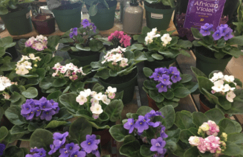 When Do African Violets Bloom