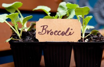 How To Grow Broccoli In Greenhouse