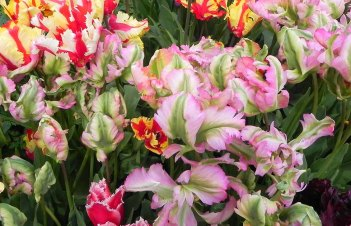 Do Parrot Tulips Come Back