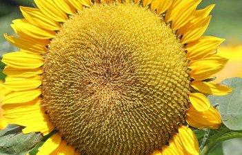 How To Have Sunflower Seeds