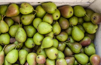 Do Pears Ripen After Being Picked
