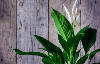 How To Make Peace Lily Grow Fast
