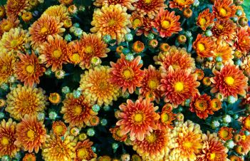 Do Fall Mums Come Back Every Year