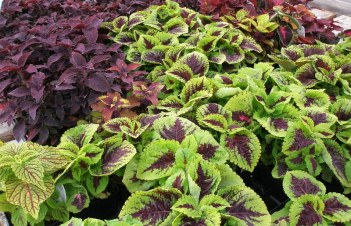 How To Cut Back Coleus