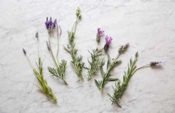 Does French Lavender Like Sun