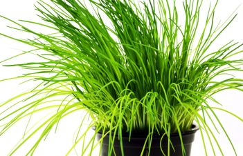 Are Scallions And Chives The Same Thing