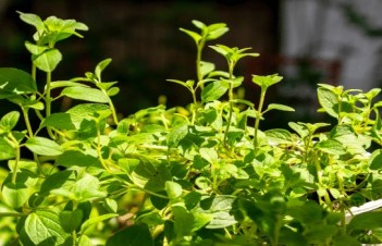 How To Save Dying Oregano