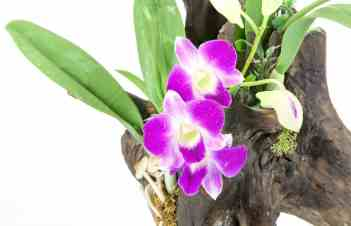 How To Revive A Dying Orchids