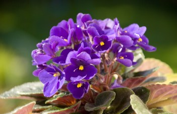 How Long Do African Violets Take To Root