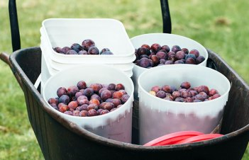How To Grow Plum From Seed