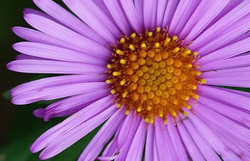 When Do Asters Bloom In Illinois