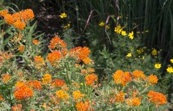 Will A Butterfly Bush Grow In Florida