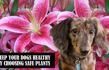 Are Astilbe Plants Poisonous To Dogs