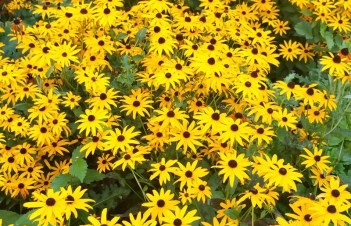 Black Eyed Susan Plants Where To Buy