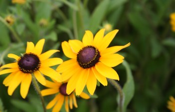 Do Black Eyed Susans Come Up Every Year