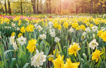 Are Daffodil Leaves Poisonous To Cats