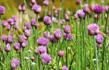 How To Use Onion Chives